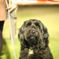 A photograph of Kyla, a three year-old black labrador poodle cross. She is sitting and looking just past the camera. A blurry outline of a woman and the dogs lead can be seen in the background.